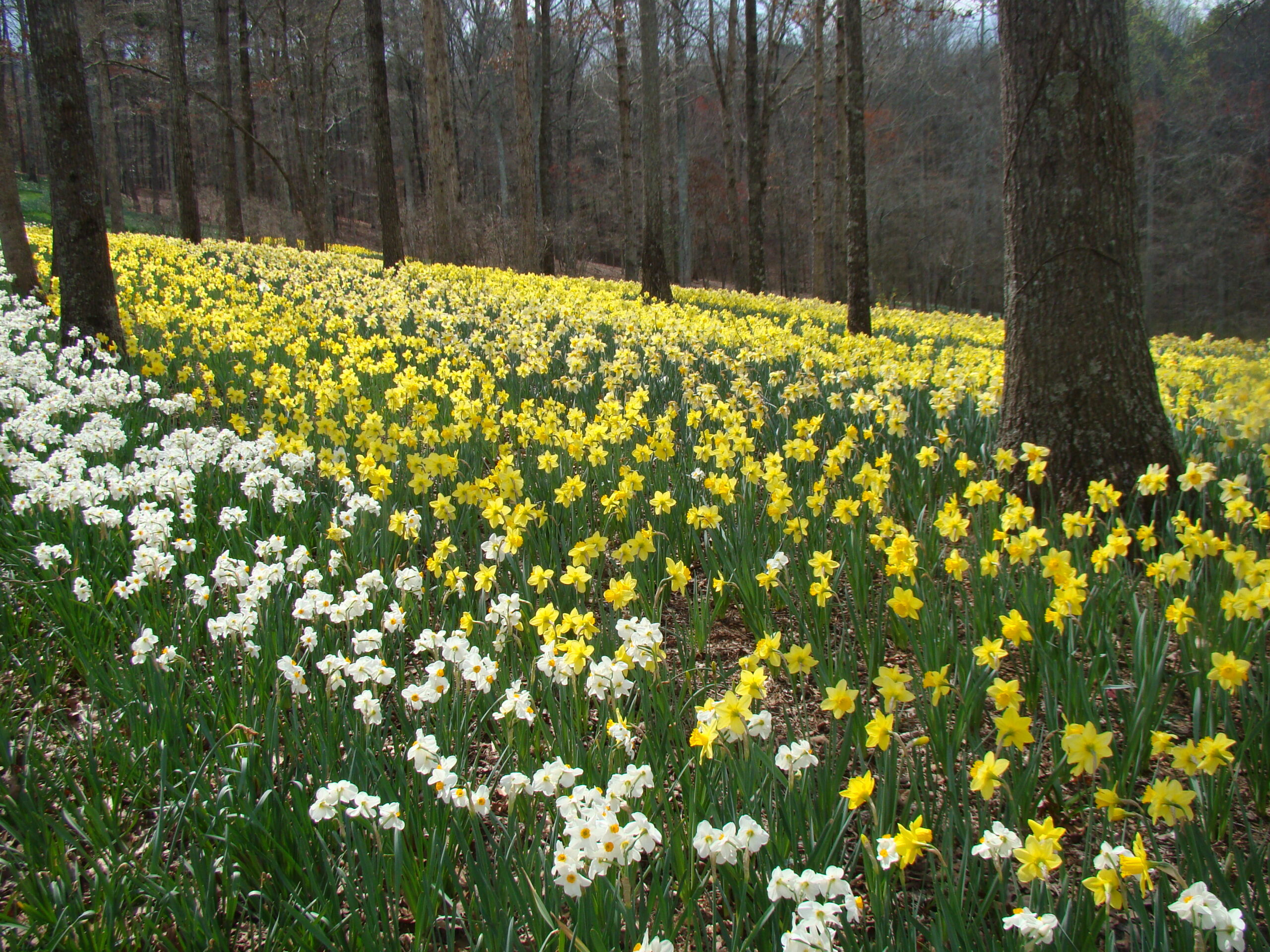 Daffodils mark the arrival of spring.